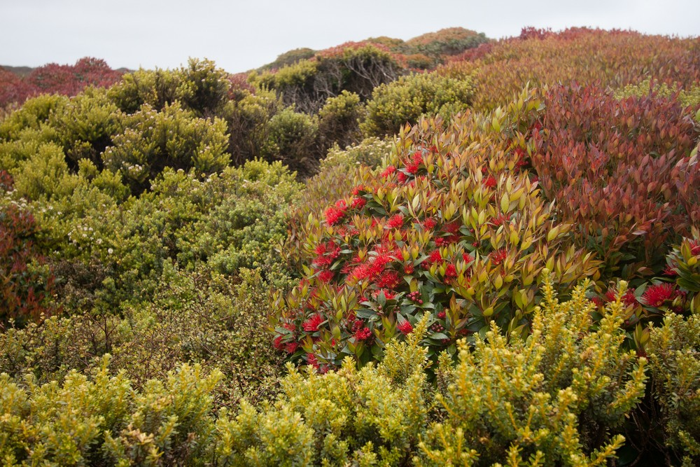 Shrubby vegetation on Enderby Island, 50° 31' South, considered Subantarctic by some definitions. The red flowers are Southern Rata, Metrosideros umbellata.