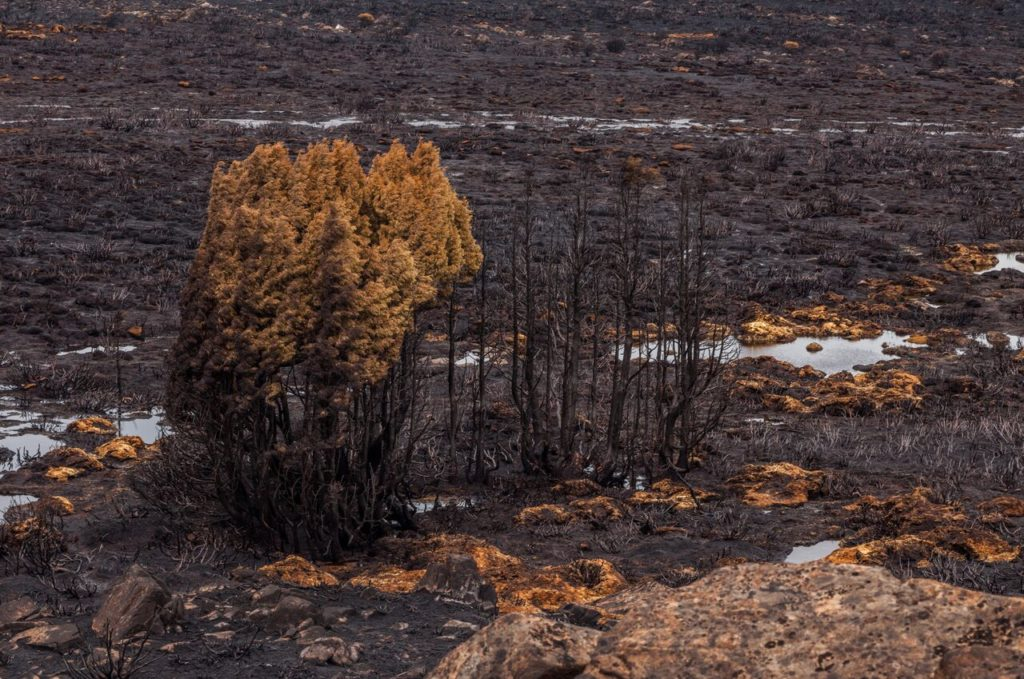 Fire-killed pencil pine stand on the Central Plateau near Lake Mackenzie, February 2016. Photo: Dan Broun.