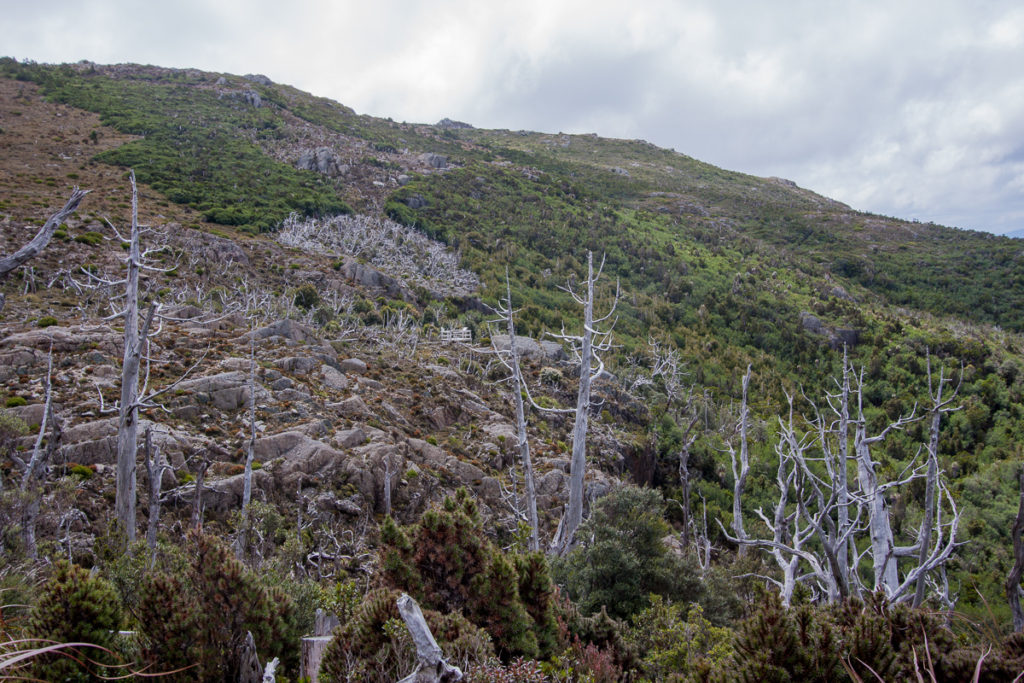 King billy pine (Athrotaxis selaginoides) killed in 1961 fire on the left. Several highly fire-sensitive species survive in the unburned subalpine forest on the right. Mt Read, West Coast Range.