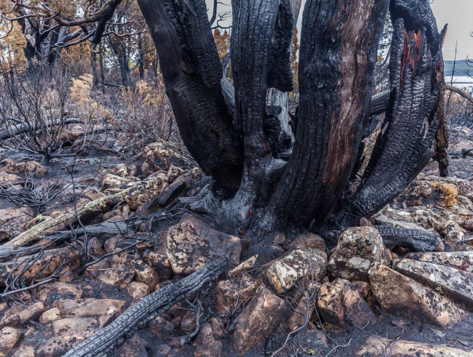 Fire-killed pencil pine on the Central Plateau near Lake Mackenzie, February 2016. Photo: Dan Broun.