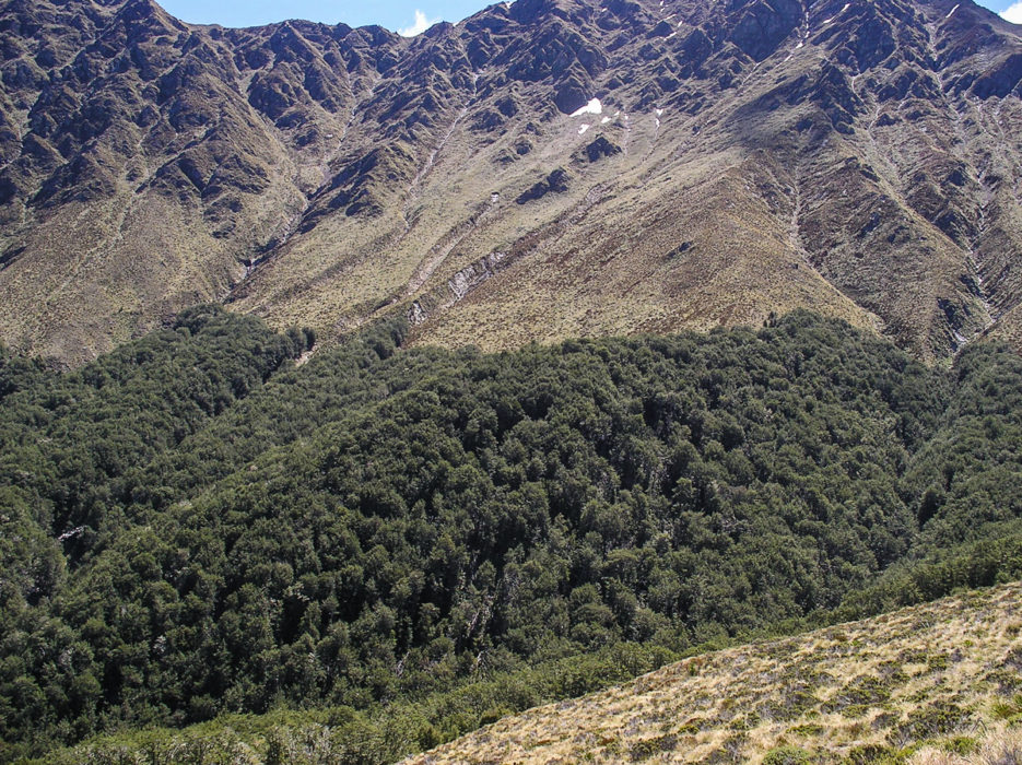 Nothofagus treeline in the New Zealand Alps.