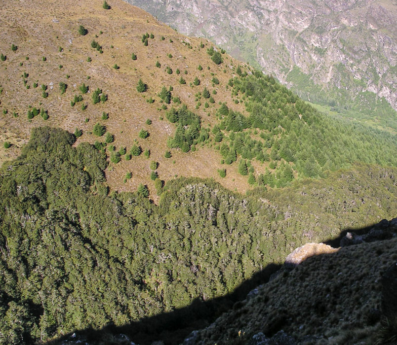 The growth of introduced Northern Hemisphere trees such as Pinus contorta up to 150 m above the native Nothofagus treeline in New Zealand has been taken as evidence that native trees are less cold-tolerant, but other stress factors may be involved.